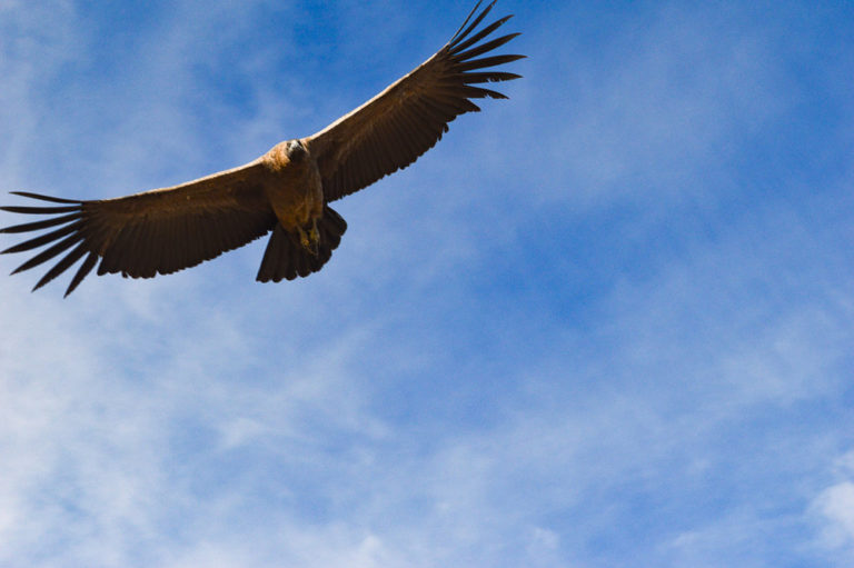 condor bird swooping overhead at cruise del condor viewpoint