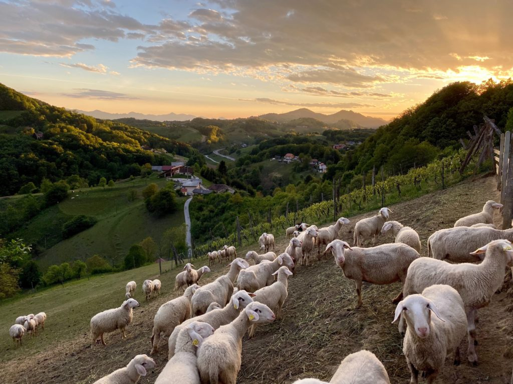 vineyard and sheep on hills in Slovenia
