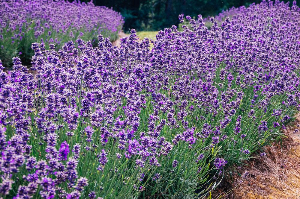 largest lavender farm in the world in Tasmania