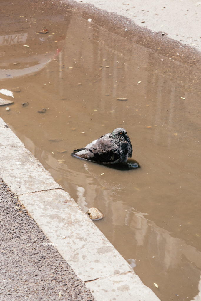 pigeon in puddle cooling off in bucharest street