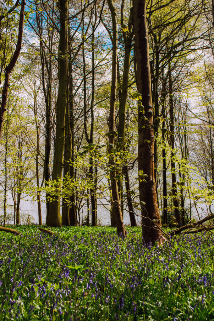 bluebell forest in Rievaulx Terraces