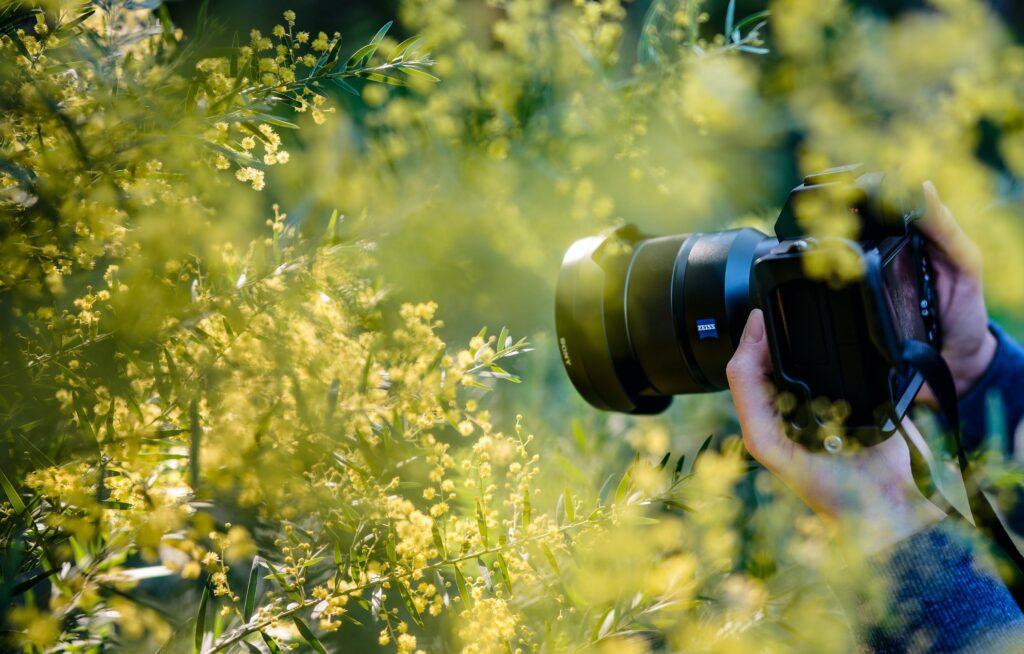 photographing yellow wildflowers
